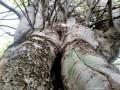 A százkarú bükkfa - Farkasvész sarka