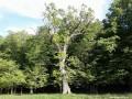 Tölgyfa a Nagy Murgó alatt - Uzonkafürdő