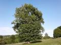 Bükkfa a Nagy Murgó alatt - Uzonkafürdő